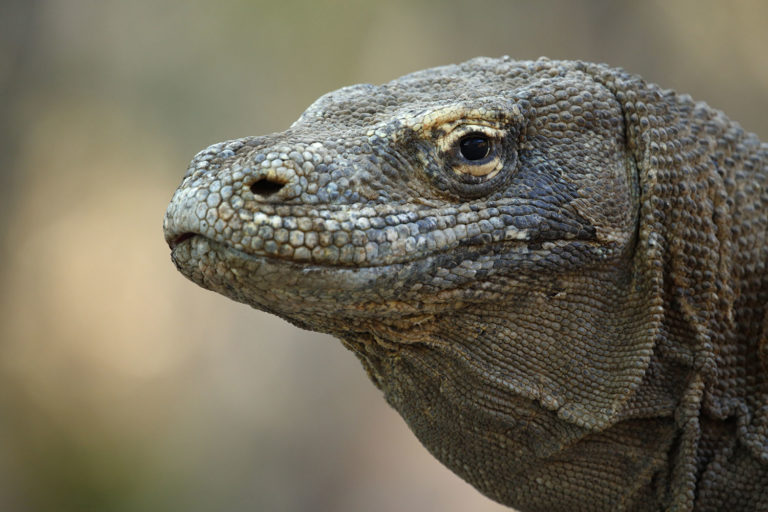 Dragon de Komodo, voyage photo - copyright Jonathan Lhoir
